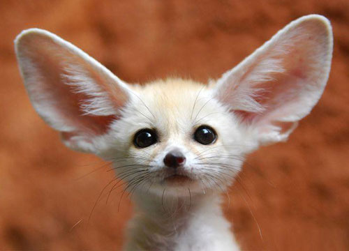 Fennec-fox-02_large